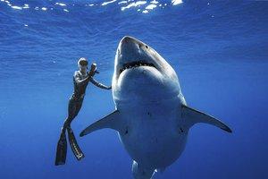 Great White Shark photo.jpg